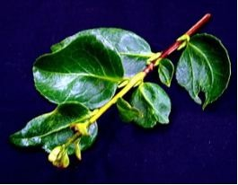 Camellia Pests and Diseases | Camellias Australia