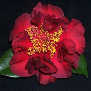 C.japonica 'Imperial Splendour'