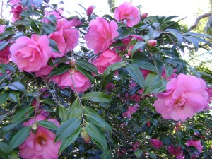 Camellia x. williamsii 'Eryldene Excelsis' in Elizabeth Cook Fountain bed.