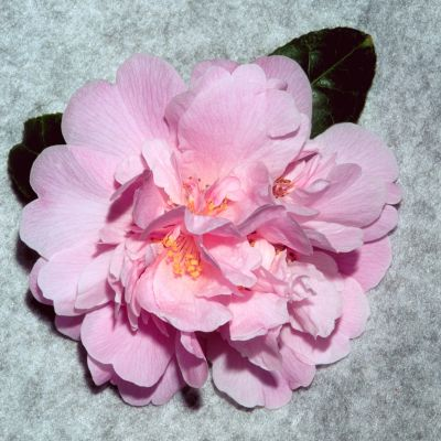 Photo: Camellia Australia Flickr Gallery
